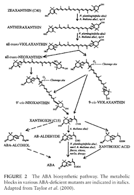 the-ABA-biosinthesis-pathway