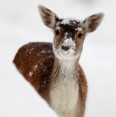 May peace and childlike wonder be yours.  LeAnn and Alex, linenandlavender.net, Deer in snow photograph by Ian Kingston via SignePling as seen on linenandlavender.net