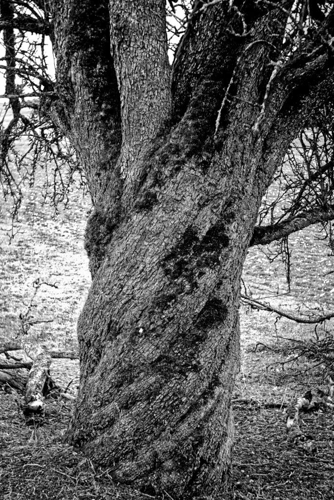 "#272 Novar-Anastigmat f3.5 45mm – Alter Birnenbaum/old pear tree – Aus Gerhards ""Care"" Paket"