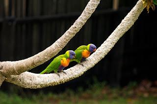 Peluang Bisnis Usaha Ternak LoveBird dengan Analisa Lengkap