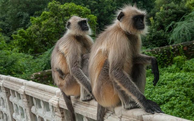 Monos en la India