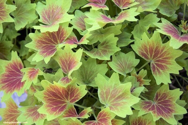 "Pelargonium ""Vancouver Centennial"""