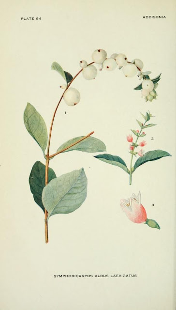 1918 Botanical illustration of the common snowberry - Symphoricarpos albus