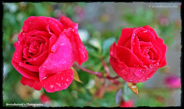 Red Roses, Wet in rain, raindrops,