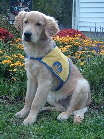 yellow lab mix puppies - photo #26