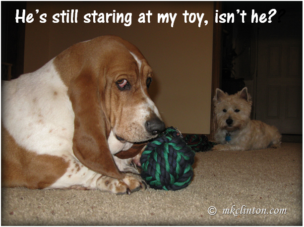 "Bentley Basset Hound meme ""He's staring at my toy, isn't he?"""