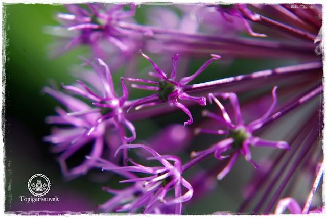Gartenblog Topfgartenwelt Buchtipp Makrofotografie - die große Fotoschule: Makrofotografie Motive - Zierlauch Bienen Blumen