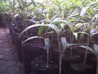 Bibit Palem Ekor Tupai (Wodyetia bifurcata)