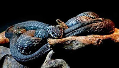 Mimpi bertemu ular hitam