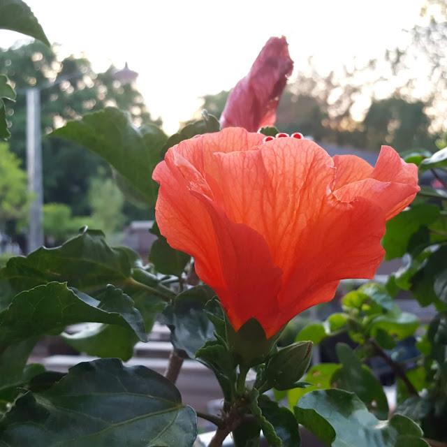 פרח אדום בגינת מלון HOTEL DE HALLEN