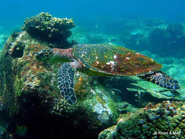 moss on sea turtle, Indonesia, Sumatera, pulau weh