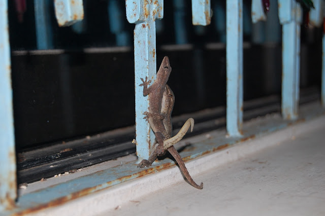 Филиппинские любвеобильные ящерицы