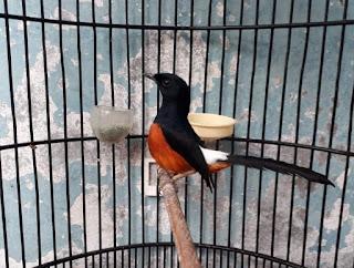 jenis burung murai batu bordan
