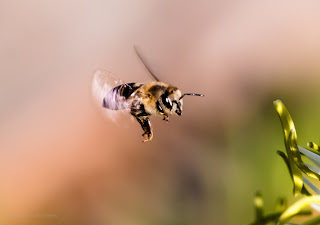 Bee in Flight Close-Up Photography Cape Town
