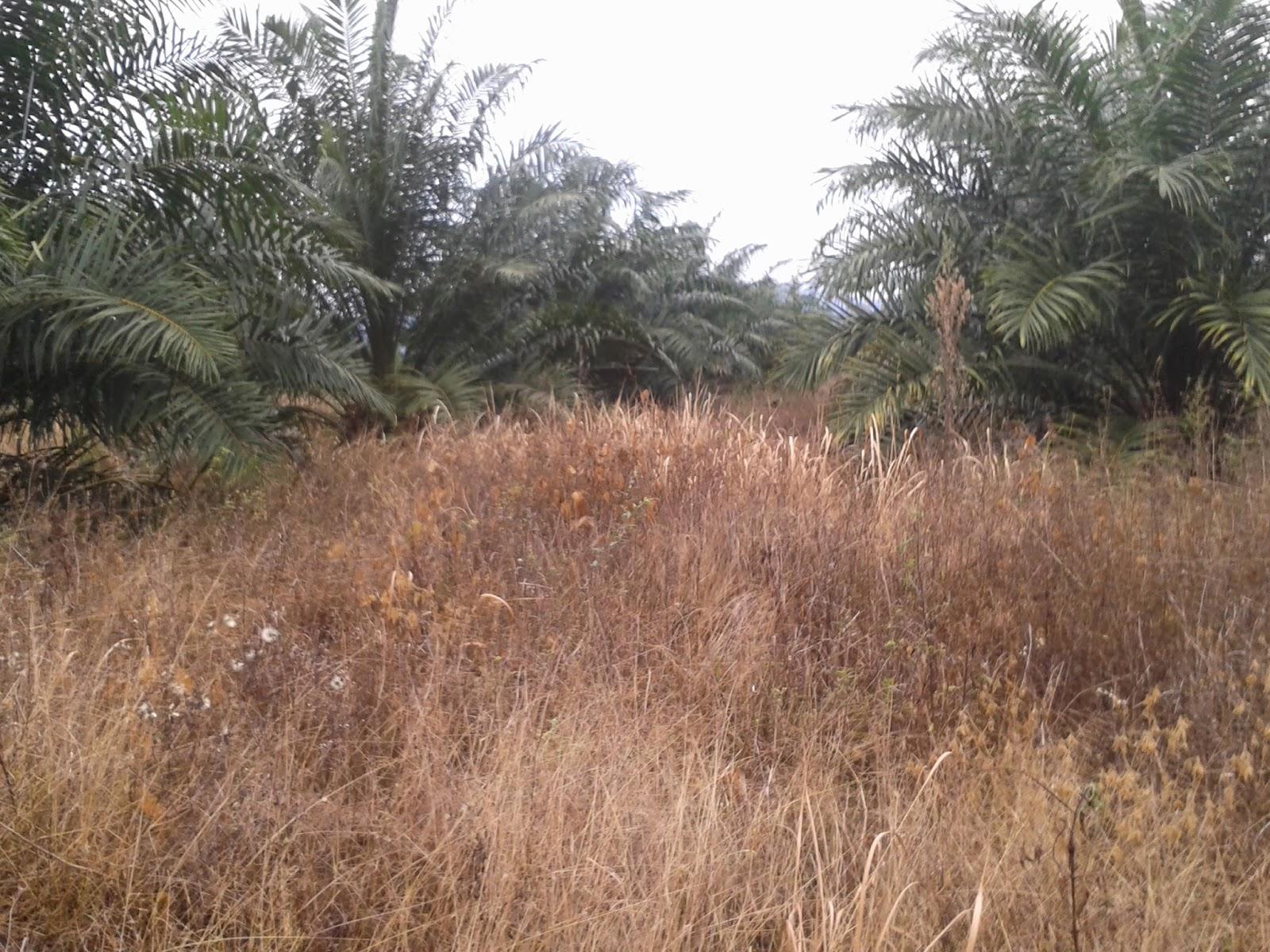 hasil penyemprotan herbisida alami