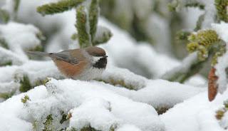 Boreal Chickadee, winter birding in Newfounldand