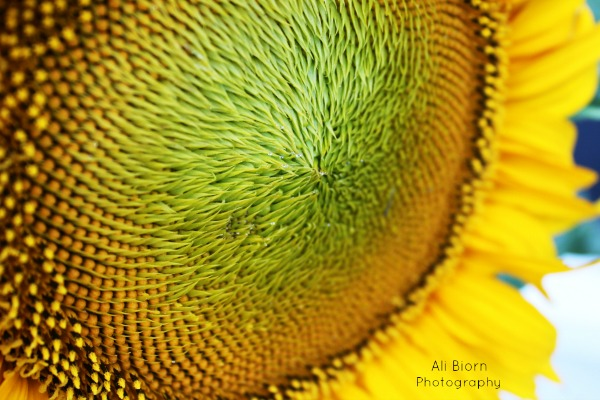 Soft Center of Sunflower with water drops