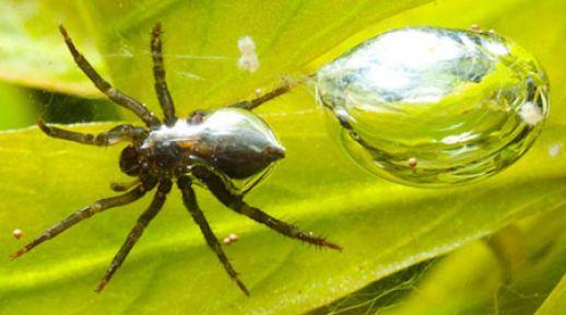 Su Altında Örümcek Yaşar mı! Su Altı Örümceğinin Sırrı Nedir?
