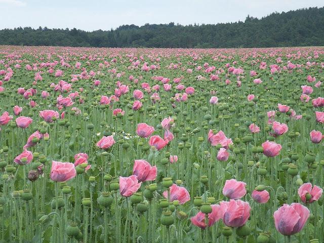 Cây Thuốc Phiện hoa màu hồng - Papaver somniferum - Nguyên liệu làm thuốc Chữa Ho Hen
