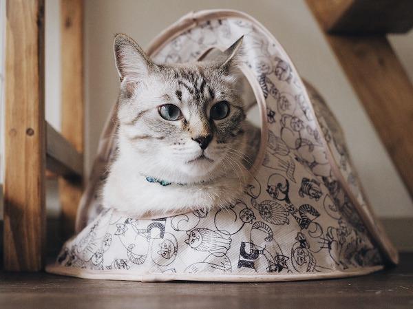リサラーソンの猫テントの中に入って顔だけ出してるシャムトラ猫