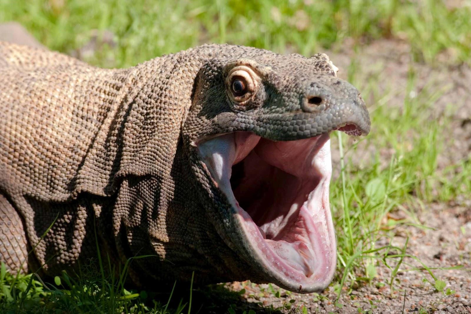 Komodo Dragon: The Biggest Animals Kingdom