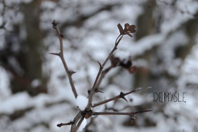 głóg zimą, gatunki głogu, głóg jednoszyjkowy, crataegus monogyna