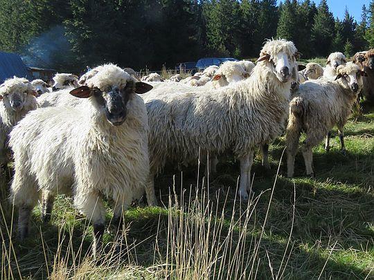 Owieczki na Sidzińskich Pasionkach.