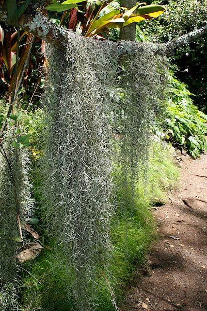 Spanish moss - Tillandsia usneoides