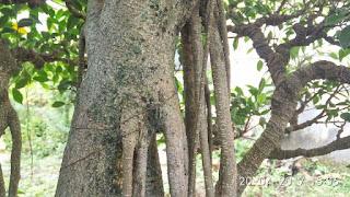 Akar Tunjang Pohon Kimeng (Ficus Microcarpa)