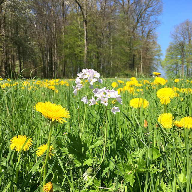 yunaban-plant-plantbased-ladys-smock-ladyssmock-flower-weed