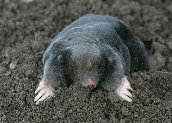 What Food Does A Mole Eat