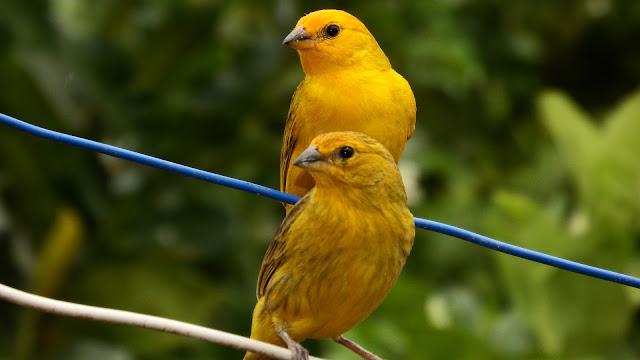 Ternak Burung Kenari, Beternak Burung, Peternakan, Cara mengobati burung kenari yang sakit, Cara mencegah agar burung kenari tidak mudah sakit, tips mudah memelihara burung kenari,