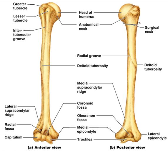 humerus or arm anatomy and positioning radtechonduty
