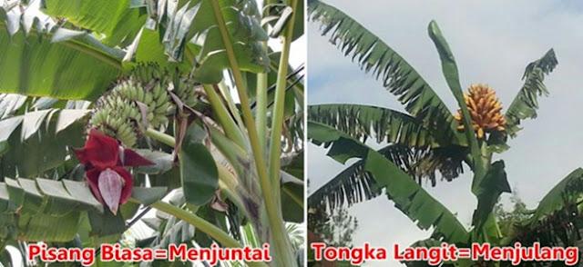 Pisang Asli Maluku ini Unik Banget. Harganya Juga Jauh Lebih Mahal Loh , Ini Dia Perbedaannya !!