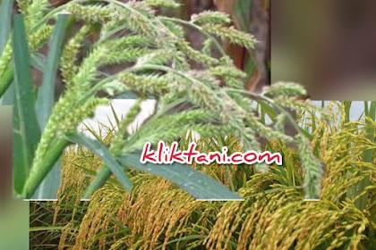 Herbisida Terbaik Untuk Padi, yang wajib anda coba!