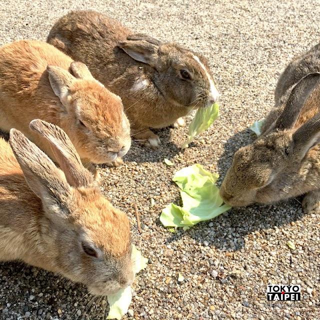 【大久野島】來「兔島」和1000隻兔子玩耍 參觀讓人沉重的毒氣遺跡