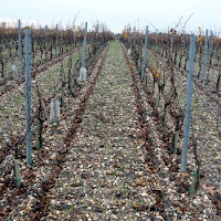 Vineyard with gravel soil