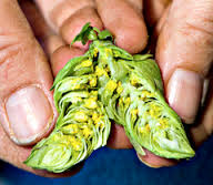 lupulin powder inside hops cone