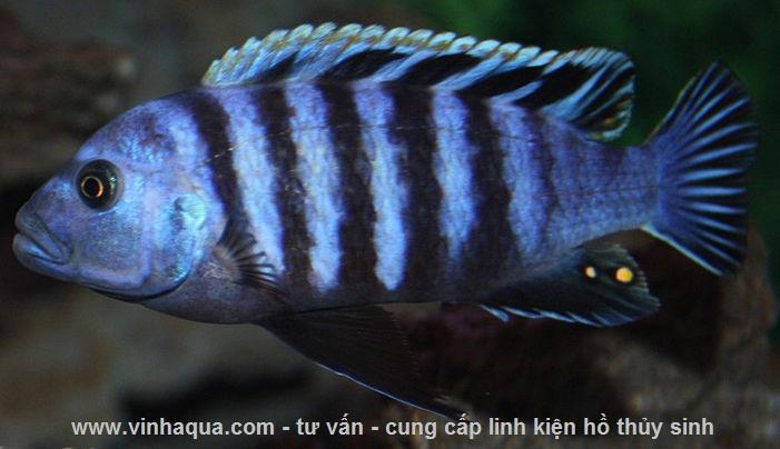 Cá ali xanh vằn - cá cảnh