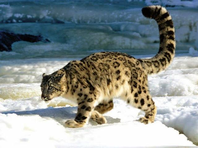 Panthera-uncia