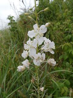 Épilobe à fleur blanche - Chamerion angustifolium 'album' - Epilobium angustifolium 'album'