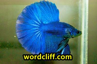 Contoh Descriptive Text Tentang Ikan Cupang Peliharaan