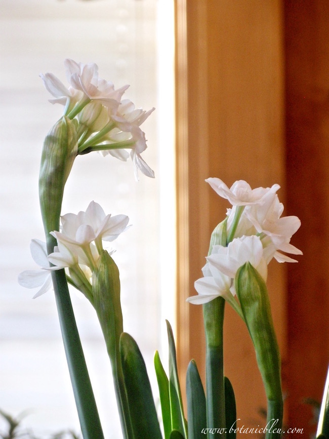plant-paperwhites-four-six-weeks-before-bloom-time