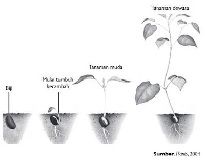 Pertumbuhan dan perkembangan yang terjadi pada tanaman kacang merah.
