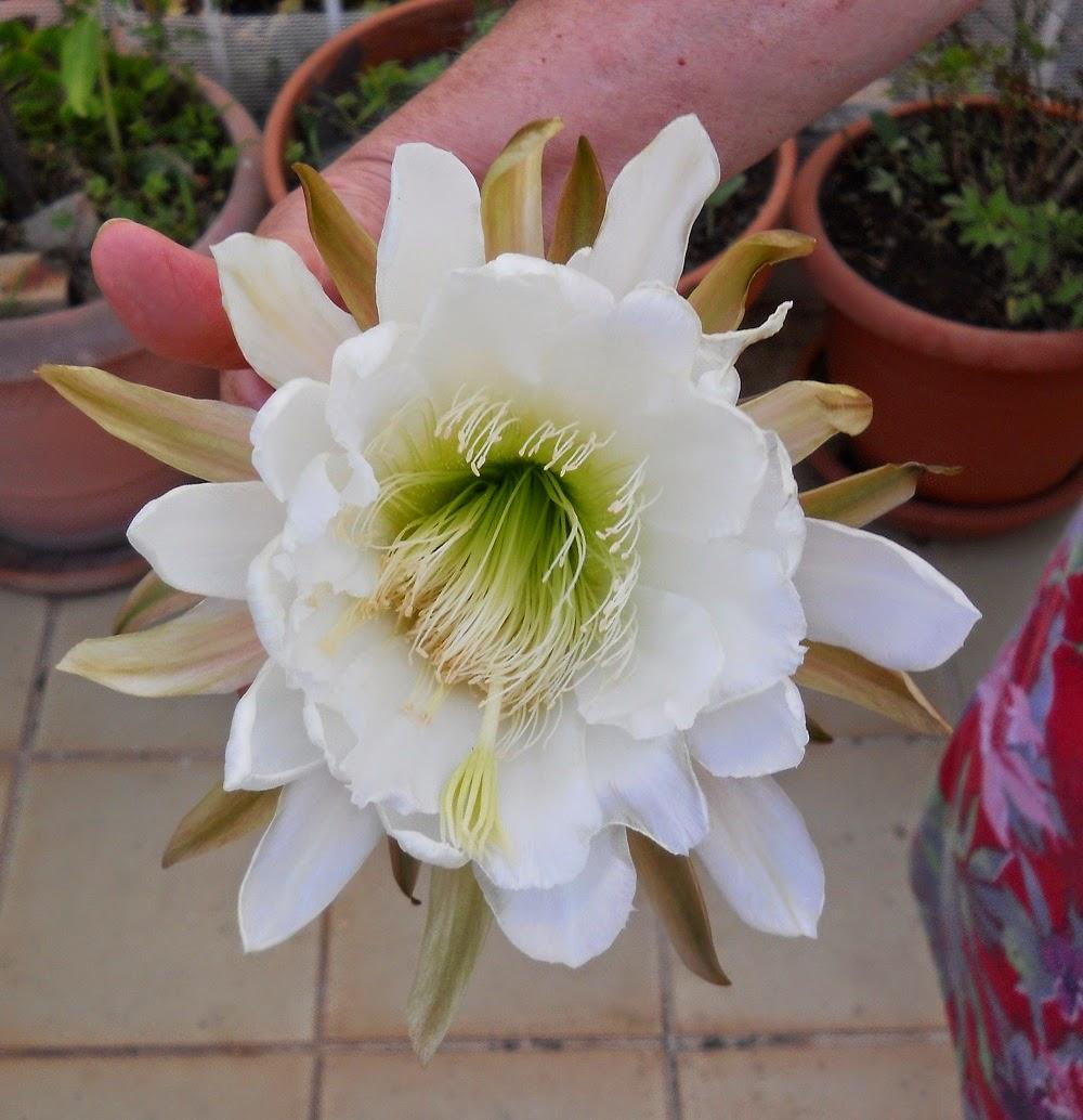 estambres de flor del cactus echinopsis pachanoi