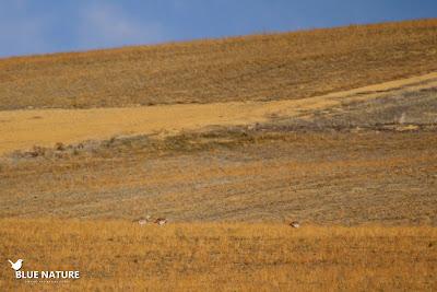 Uno de los bandos de avutarda común (Otis tarda), en este caso tres machos lejanos