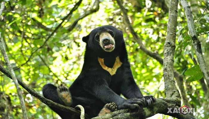Hewan buas yang ada di Indonesia - Beruang madu