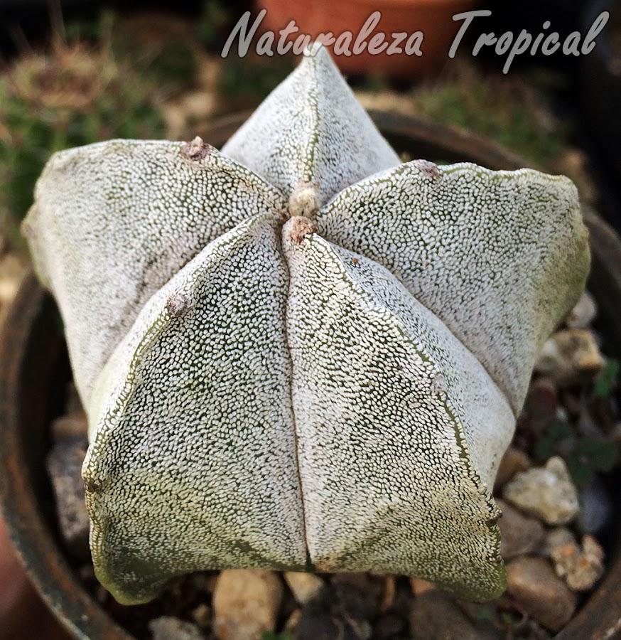 Cactus estrella, Astrophytum myriostigma