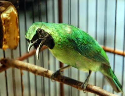 Harga Burung Cucak Ijo Terbaru 2015