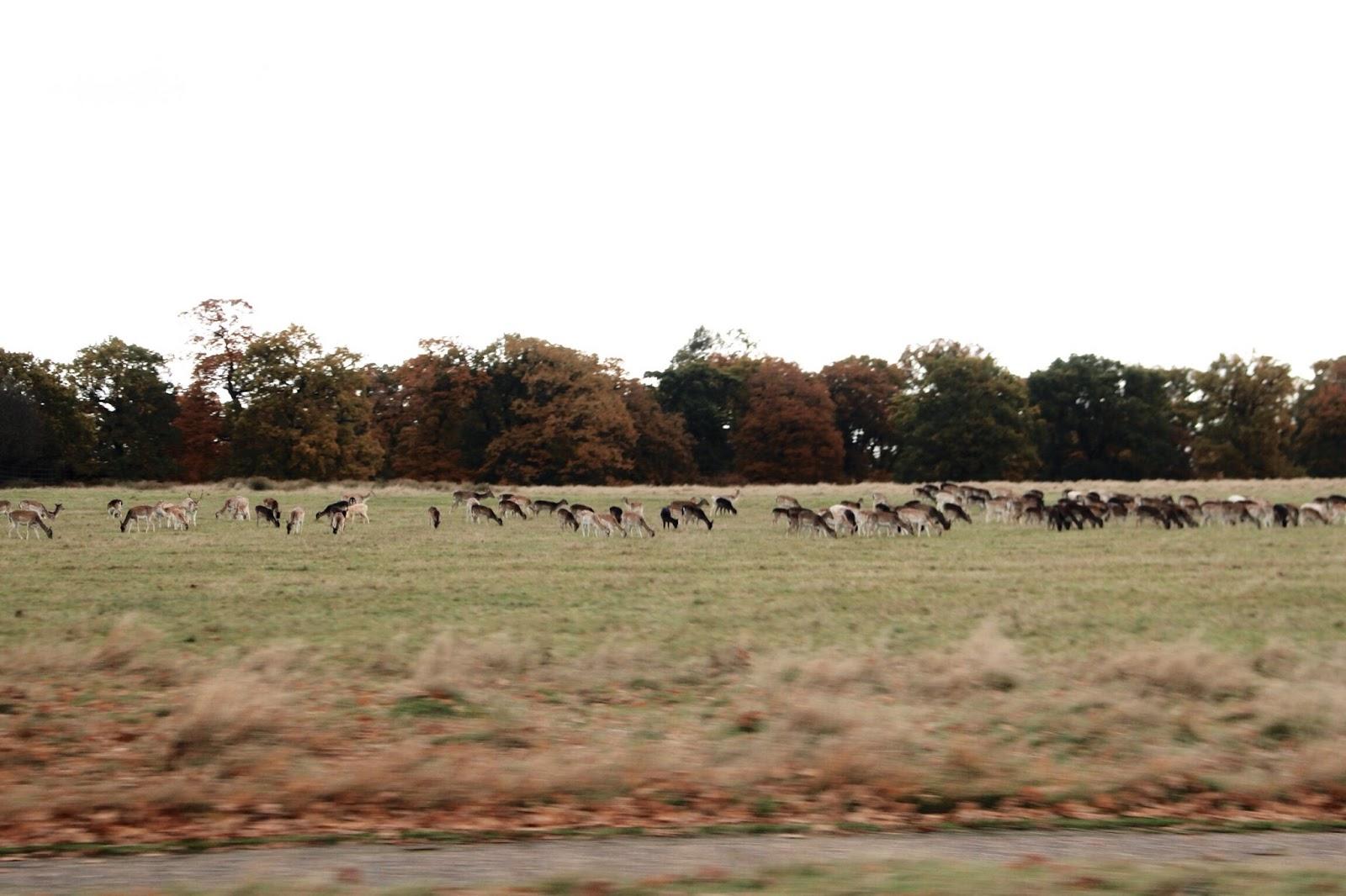Herds of deer in winter at Richmond Park London